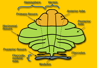 Parts of the cerebellum