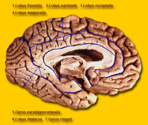 Brain Maps ::: The Parietal Lobe and other Lobes of the Brain.