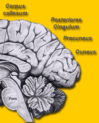 brain maps ::: cingulate cortex, gyrus cinguli, acc and pcc., Cephalic Vein