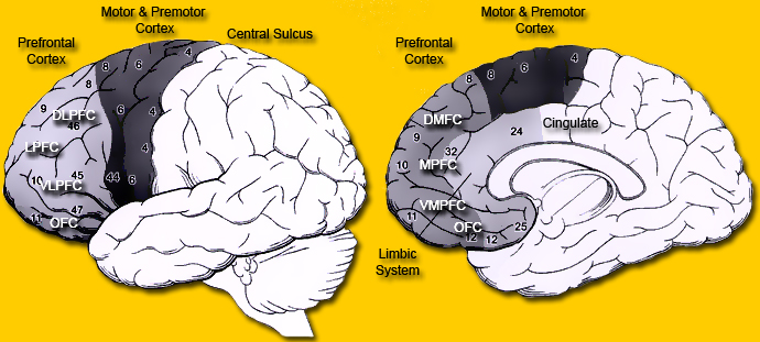Brain Maps ::: Frontal lobe, Lobus frontalis.