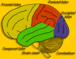 Brain Maps ::: Telencephalon, Cerebrum.