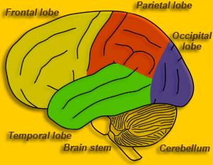 Brain Maps ::: Telencephalon, Cerebrum.