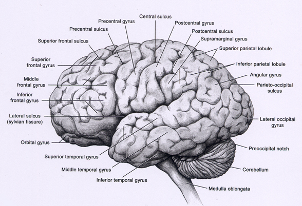 Why does the brain have gyri and sulci?