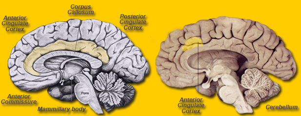 Brain Maps ::: Cingulate Cortex, Gyrus Cinguli, ACC and PCC.