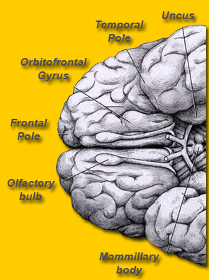Orbitofrontal Gyrus