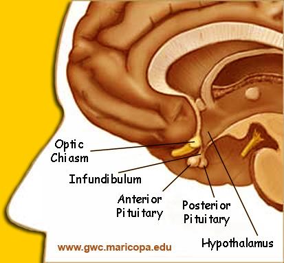 Brain Maps ::: Brain Anatomy, Functions and Disorders - Brain ...